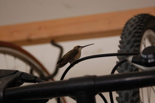 Hummingbird in the garage